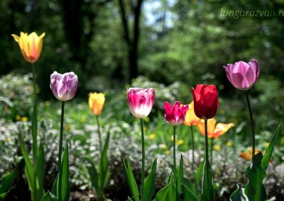 Tulips Presentation