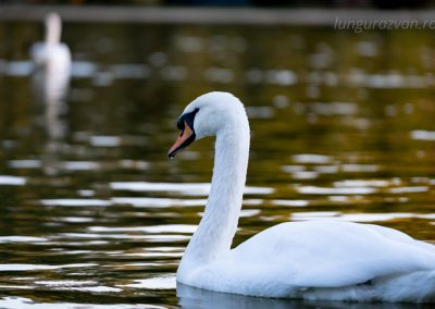 A Swan's Grace in Autumn