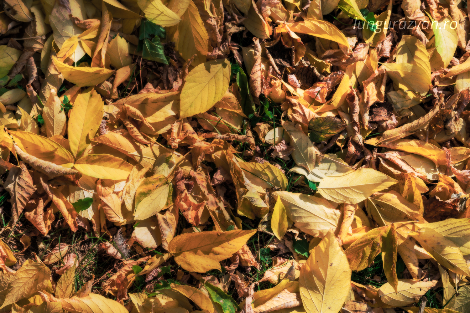 Tons of Yellow, Hints of Green. Yellow leaves fallen on the ground in autumn