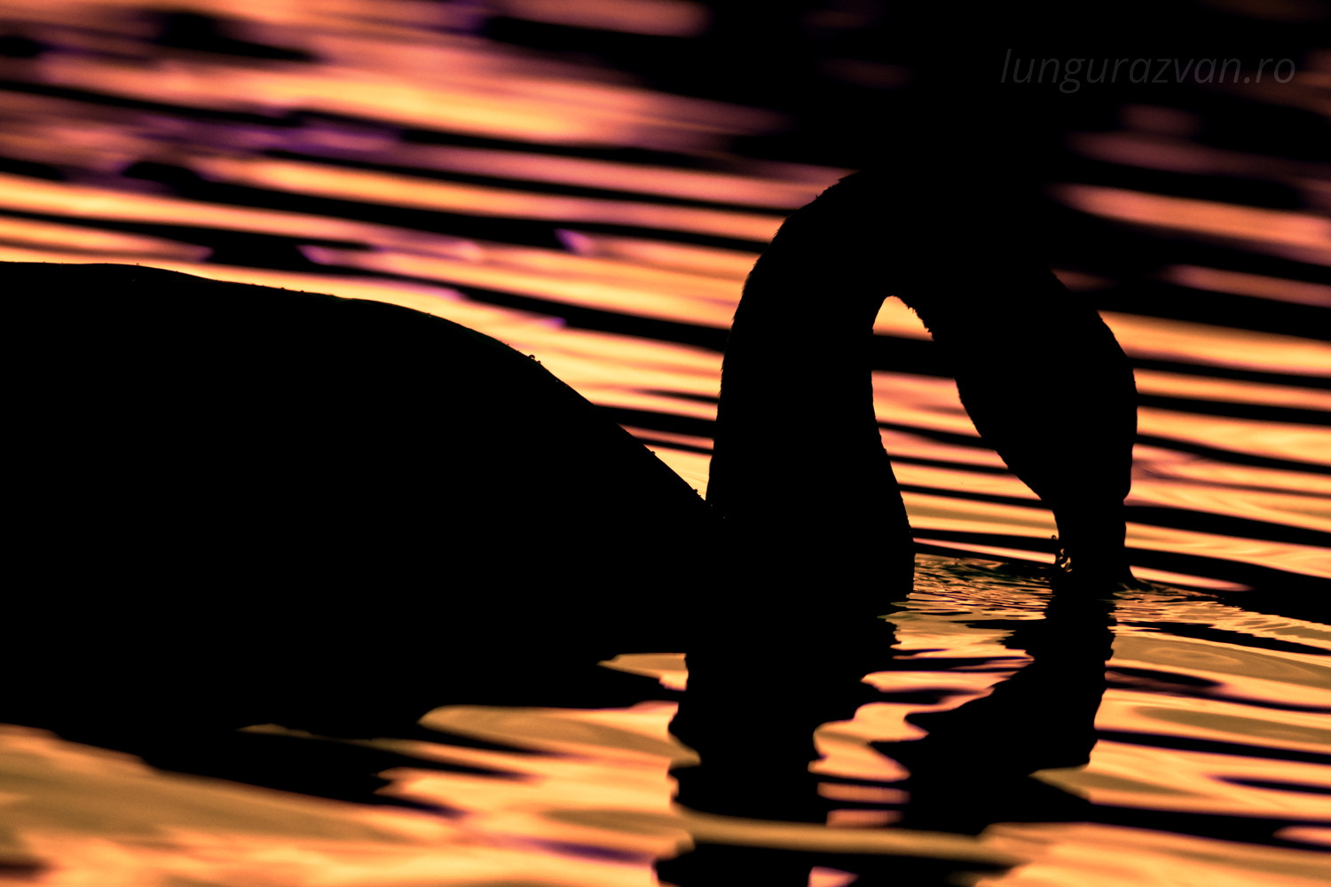Swimming in Gold. Dark swan silhouette swimming in gold reflecting water.