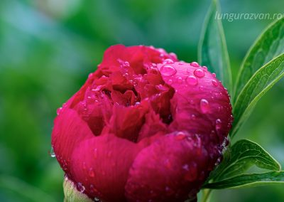 Peony Hosting Water Drops